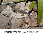 Approach To An Iguana In His...
