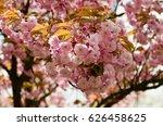 pink japanese cherry in blossom.... | Shutterstock . vector #626458625