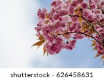 postcard of blossoming pink... | Shutterstock . vector #626458631