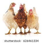 Three Brown Chicken Isolated O...