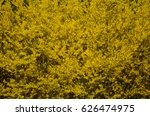 yellow background of blossoming ... | Shutterstock . vector #626474975