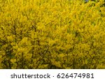 yellow background of forsythia... | Shutterstock . vector #626474981