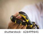 beautiful snake in human hands. ... | Shutterstock . vector #626499641