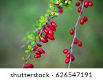 barberry red berries. red... | Shutterstock . vector #626547191