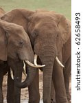 Постер, плакат: Young elephant bulls at
