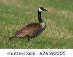Canada Goose Standing On A...