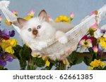Pretty Birman Kitten Lying In...