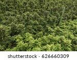 marijuana grow commercial... | Shutterstock . vector #626660309
