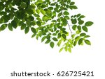 tree branch isolated | Shutterstock . vector #626725421