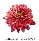 Red Flower Chrysanthemum. ...