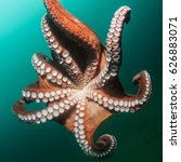 tentacles and  suckers of giant ... | Shutterstock . vector #626883071