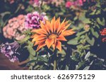 Colorful Gazania Flower...