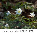 wood anemone flowers in english ...   Shutterstock . vector #627101771