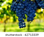 Blue grapes and green bokeh in a vineyard - stock photo