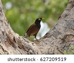 Mynah Bird  The Myna  Also...