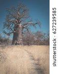 huge baobab plant in the... | Shutterstock . vector #627239585