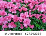 Pink Azalea Blossom In...