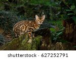 bengal cat hunting outdoor  on... | Shutterstock . vector #627252791