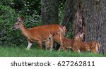 Doe With Three Fawns White Tai...