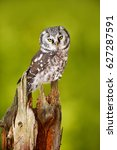 Small photo of Owl in the forest. Boreal owl, Aegolius funereus, sitting on larch tree trunk with clear green forest background. Wildlife scene from nature.