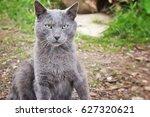 portrait of gray homeless cat... | Shutterstock . vector #627320621