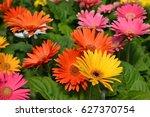 gerbera daisies | Shutterstock . vector #627370754