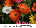orange gerbera daisy | Shutterstock . vector #627370784