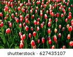 full bloom of red tulips in... | Shutterstock . vector #627435107