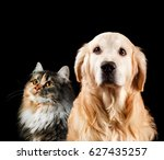 Stock photo close up portrait of a cat and dog isolated on black background golden retriever and siberian 627435257