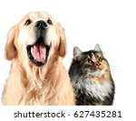 Stock photo cat and dog together siberian golden retriever looks top isolated on white 627435281