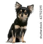 Chihuahua  2 Years Old  Sittin...