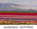 Colorful Tulip Fields  Tulip...