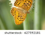 the orange fritillary butterfly ...