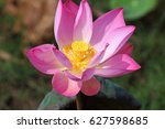 lotus in a natural swamp | Shutterstock . vector #627598685