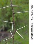 Small photo of Thorns of Acacia Nilotica, Babul tree, India