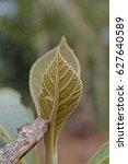 Small photo of Teak leaf, Tectona grandis L. f., Verbenaceae, Jati