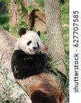 Giant Panda Bear Leaning...