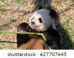 Giant Panda Bear Laying On His...