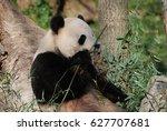 Cute Panda Bear Smelling His...