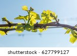 Young Leaves In The Vineyard In ...