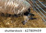 Sheep Ewe Licks Her Lamb After...