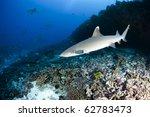Whitetip Reef Shark  Triaenodo...
