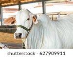 brazilian nelore elite cattle... | Shutterstock . vector #627909911
