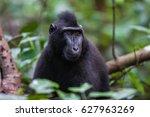Portrait Of A Black Macaque...