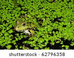 A Frog In A Stream Covered Wit...