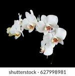 White Orchid Phalaenopsis...
