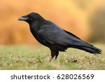 The Common Raven  Corvus Corax...