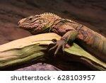 Rare Iraqi Spiny Tailed Lizard...