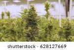 buds on flowering cannabis... | Shutterstock . vector #628127669