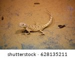 Small photo of Trapelus sanguinolentu. Trapelus is a genus of Middle Eastern agamid lizards, which contains 16 species